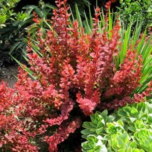 2 Gal. Orange Rocket Barberry, Live Deciduous Plant, Coral to Ruby Red Foliage