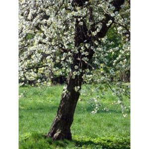 Harvest Gold Flowering Crabapple Tree Bare Root