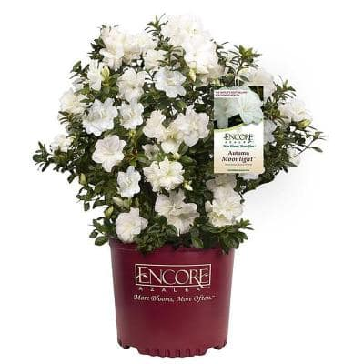 2 Gal. Autumn Moonlight Shrub with White Flowers