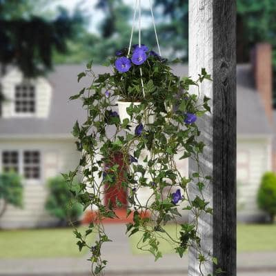 44 in. Hanging Morning Glory Plant