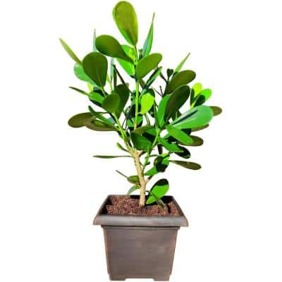 8.25 Qt. Partial or Full Tropical Sun Autograph Clusia gutiffera Plant in 10 in. Decorative Resin Pot