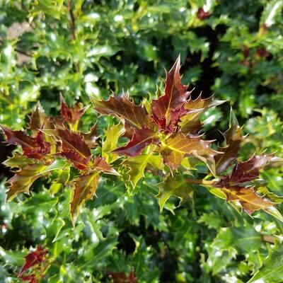 4 in. Pot Mademoiselle Holly (Ilex) Broadleaf Evergreen Shrub with White Flowers