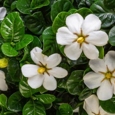 2 Gal. Diamond Spire Gardenia Live Evergreen Shrub with White Fragrant Blooms