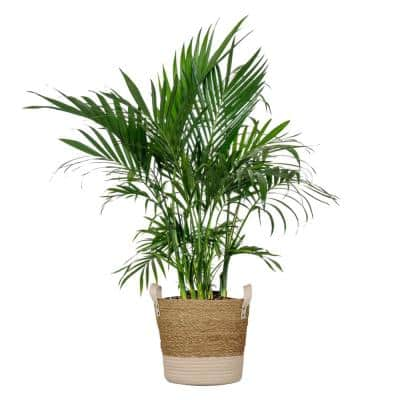 Cat Palm Plant 24 in. to 28 in. Tall in 10 in. Beige and White Wicker Basket