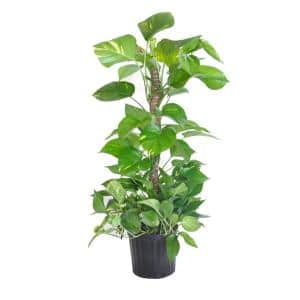 Golden Pothos Totem Plant in 9.25 in. Grower Pot