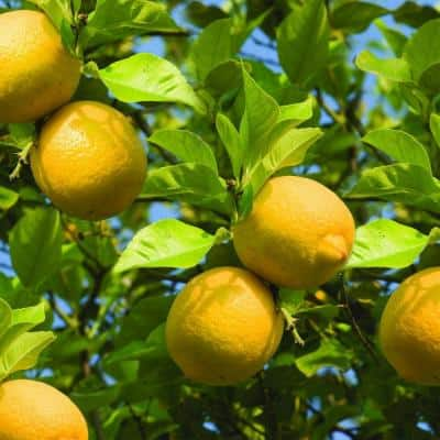 Lemon Tree in Decorative Planter