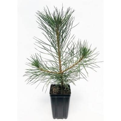 Austrian Pine Potted Evergreen Tree