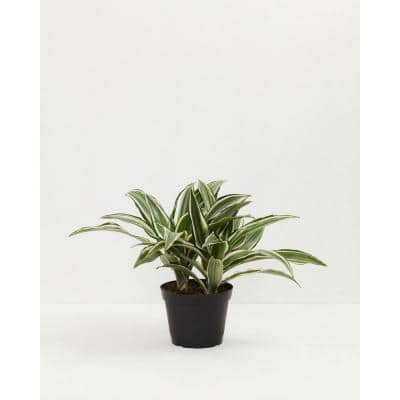 6 in. White Stripe Dragon Tree (Dracaena Warneckii) Plant in Grower Pot