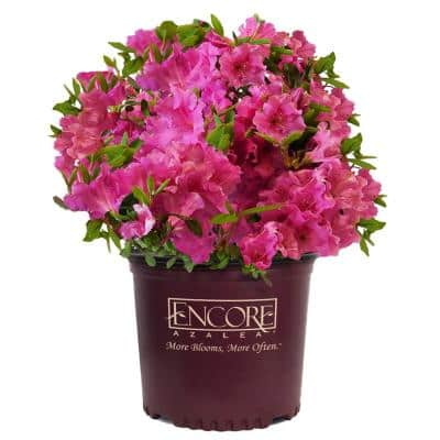 1 Gal. Autumn Royalty Shrub with Pink Flowers