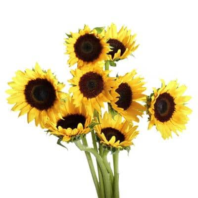 50 Stems of Yellow Sunflowers with Brown Center- Fresh Flower Delivery