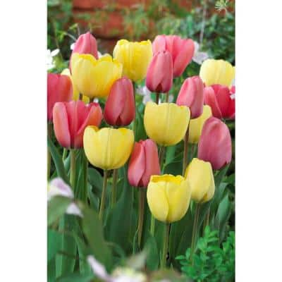 Bloom Pad Mix Easy to Plant Yellow and Coral Tulip Bulbs (8-Pack)
