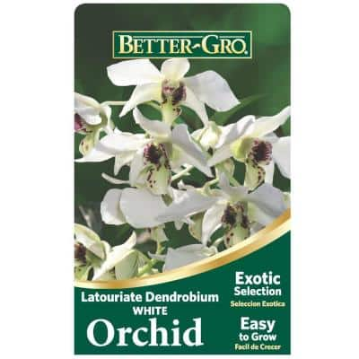 White Latouriate Dendrobium Package Orchid 4 in. plastic pot