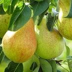 5 Gal. Baldwin Pear Tree