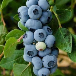 Legacy Blueberry (Vaccinium), Live Fruiting Plant, Grown in a 3 in. Pot (1-Pack)