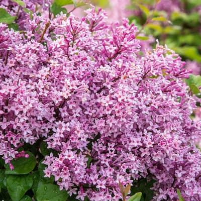 Be Right Back Reblooming Lilac, Live Bareroot Deciduous Flowering Shrub (1-Pack)