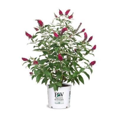 Proven Winner 2 Gal. Buddleia Miss Molly Plant