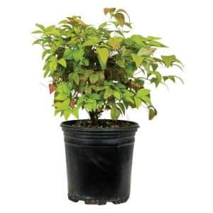 2.5 Qt. Firepower Dwarf Nandina (Heavenly Bamboo), Live Evergreen Shrub, Bright Red Winter Foliage