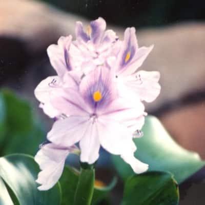 Givhandys Water Hyacinth Floating Aquatic Pond Plants (3-Pack)