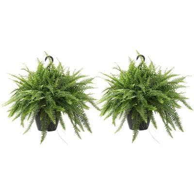 Boston Fern Plant in 10 in. Grower Pot (2-Pack)
