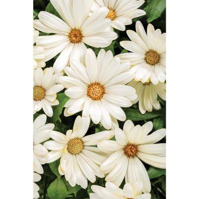 4.25 in.Grande Bright Lights White African Daisy (Osteospermum) Live Plant, White Flowers (8-Pack)