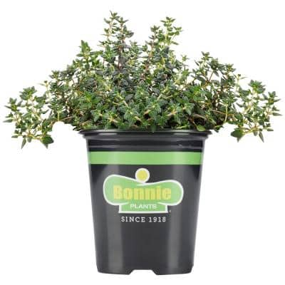 19.3 oz. German Thyme Plant