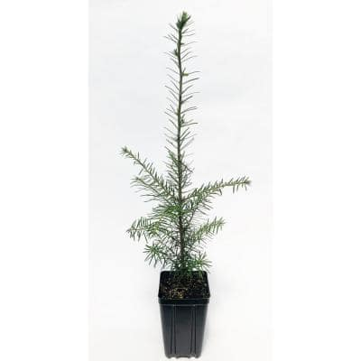 Canaan Fir Potted Evergreen Tree