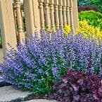 Purrsian Blue Catmint Nepeta, Live Bareroot Perennial Plant in Blue Flowers (1-Pack)