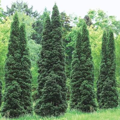 Emerald Green Arborvitae (Thuja), Live Evergreen Bareroot Plant, 3 ft. to 4 ft. Tall (1-Pack)