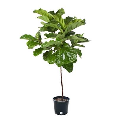 14 in. Ficus Lyrata Std Plant