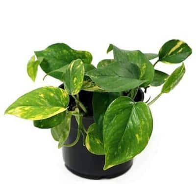 8 in. Pothos Plant in Hanging Basket