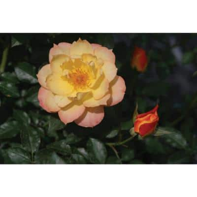 1 Gal. Oso Easy Italian Ice Landscape Rose (Rosa) Live Shrub Orange, Pink and Yellow Flowers