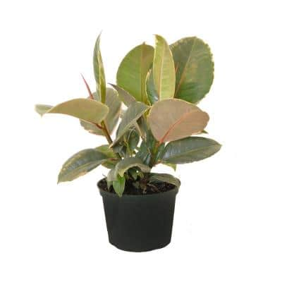 14 in. Tall to 21 in. Tall Ficus Elastica Tineke Live Rubber Plant Indoor Houseplant in 6 in. Grower Pot