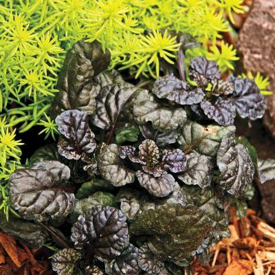 Black Scallop Ajuga, Live Jumbo Bareroot Perennial Groundcover, Flowers Purple (1-Pack)