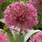 Van Zyverden Allium Nevskianum Set of 3 Bulbs