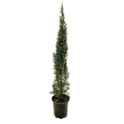 2.5 Qt. Italian Cypress, Live Evergreen Tree, Narrow Columnar Growth