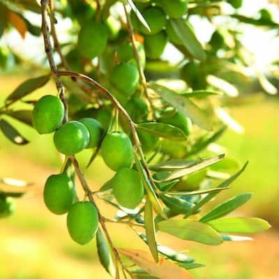 Olive Tree in Decorative Planter