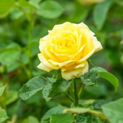 4 in. Pot, Yellow Freedom Shrub Rose, Yellow Color Flowers Live Bareroot Plant (1-Pack)