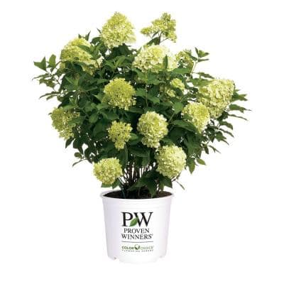 5 Gal. Limelight Hydrangea Shrub with Green to Pink Flowers