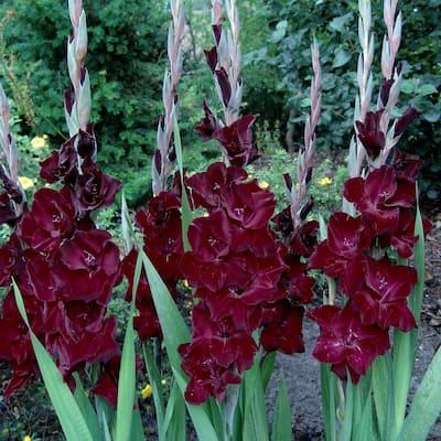 Red Flowers Belle De Nuit Gladiolus Bulbs (25-Pack)