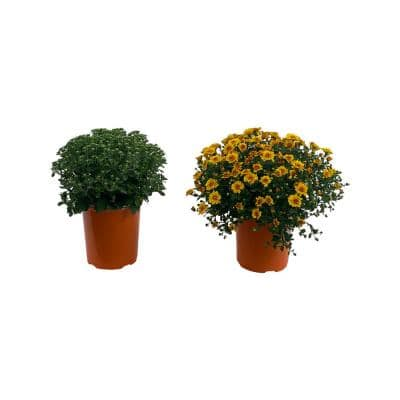 2.5 Qt. Mum Chrysanthemum Plant Orange Flowers in 6.33 In. Grower's Pot (2-Plants)