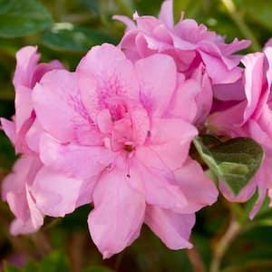 3 Gal. Autumn Carnation Shrub with Ruffled Pink Reblooming Flowers