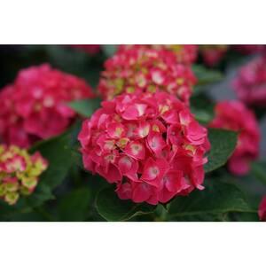 1 Gal. Wee Bit Giddy Bigleaf Hydrangea (Hydrangea Macrophylla) Live Plant, Pink Flowers