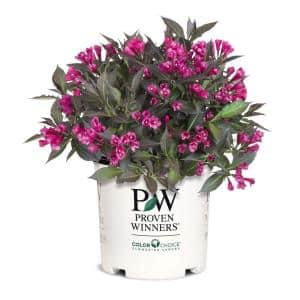 2 Gal. Spilled Wine Weigela Shrub with Bright Pink Flowers and Deep Purple Foliage
