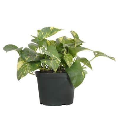 Golden Pothos in 6 in. Grower Pot