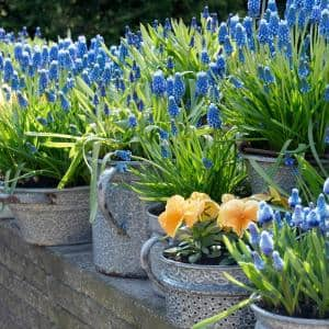 Grape Hyacinths for Containers (Set of 25)