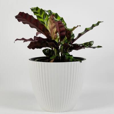 Rattlesnake Plant (Calathea Lancifolia) Live Plant Inside Decorator White Ribbed 6 in. Planter