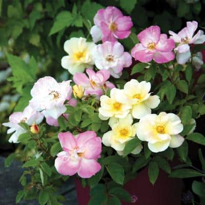 4 in. Qt. Peach Lemonade Rose Live Shrub, Lemon Yellow-White and Blush Pink Flowers