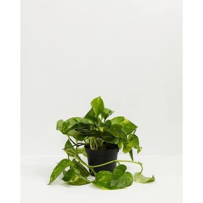 4 in. Golden Pothos (Epipremnum Aureus) Plant in Grower Pot