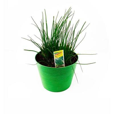 1.5 Qt. Herb Plant Onion Chives in 6 In. Deco Pot