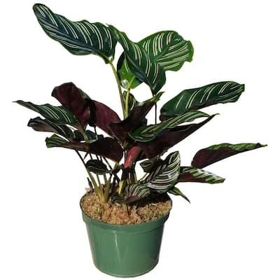 Pin Stripe Calathea Plant in 6 in. Grower Pot